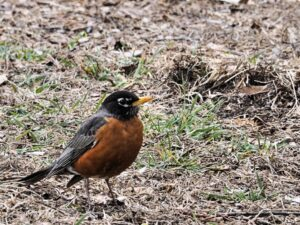 First Robin of Spring 2020